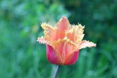 Brote de un tulipán Foto de archivo libre de regalías
