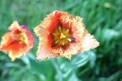 Brote de un tulipán Foto de archivo