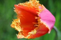 Brote de un tulipán Fotografía de archivo libre de regalías