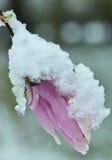 Brote de una magnolia rosada debajo de la nieve Imagen de archivo libre de regalías