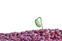 Brote de una pl?ntula de habas, habas verdes Germinaci?n de la primavera de semillas primer Aislado en un fondo blanco imagen de archivo