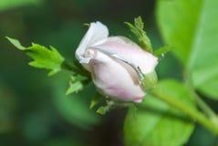 Brote de una rosa en un fondo verde imagen de archivo