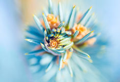 Brote del árbol de hoja perenne de la primavera Imagenes de archivo