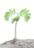 Brote del árbol de tamarindo Imagen de archivo