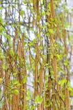Brote del abedul en la primavera Fotos de archivo