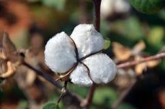 Brote del algodón Foto de archivo libre de regalías