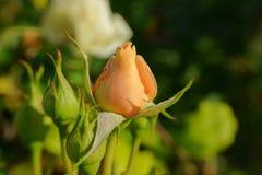 Brote del cierre de la rosa para arriba Fotografía de archivo libre de regalías