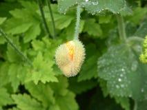 Brote del escholzia - amapola californiana Imagenes de archivo
