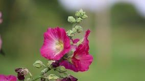 Brote del jardín del rosa de la flor del Malva almacen de metraje de vídeo