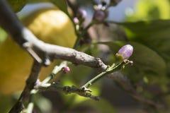 Brote del limón imagenes de archivo