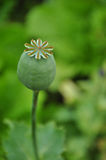 Brote del opio Imagen de archivo