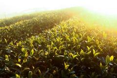Brote del té verde fotos de archivo