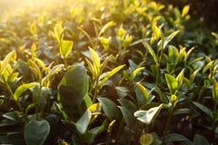 Brote del té verde fotos de archivo libres de regalías