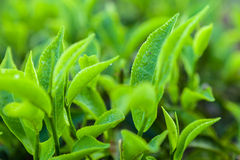 Brote del té verde y hojas frescas Ciérrese encima de campos de las plantaciones de té en Nuwara Eliya, Sri Lanka Foto de archivo