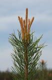 Brote en el top del árbol de pino Fotos de archivo