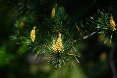 Brote floreciente del pino. Imagen de archivo libre de regalías