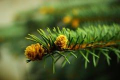 Brote floreciente del pino. imagen de archivo