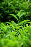 Brote fresco del té verde en campo del té foto de archivo libre de regalías