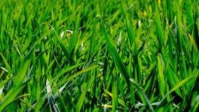 Brote joven de la hierba del trigo