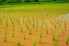 Brote joven del arroz listo al crecimiento en el campo del arroz Imagen de archivo
