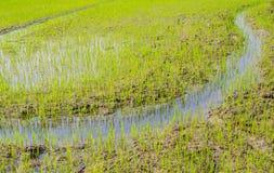 Brote joven del arroz que crece en el campo Fotos de archivo libres de regalías
