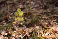 Brote joven del pino en bosque de la primavera Foto de archivo