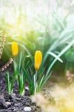 Brote o açafrão amarelo no jardim da mola contra o fundo do snowdro Fotos de Stock Royalty Free
