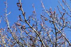 Brote, os botões da árvore, com a chegada da mola, os botões do fruto, flores da árvore de fruto, foto de stock royalty free