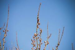 Brote, os botões da árvore, com a chegada da mola, os botões do fruto, flores da árvore de fruto, imagens de stock royalty free