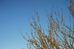 Brote, os botões da árvore, com a chegada da mola, os botões do fruto, flores da árvore de fruto, imagem de stock royalty free