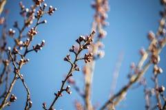 Brote, os botões da árvore, com a chegada da mola, os botões do fruto, flores da árvore de fruto, fotos de stock