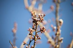 Brote, os botões da árvore, com a chegada da mola, os botões do fruto, flores da árvore de fruto, foto de stock
