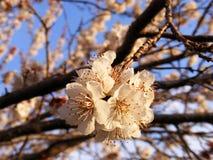 Brote, os botões da árvore, com a chegada da mola, os botões do fruto, flores da árvore de fruto, imagens de stock