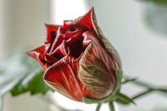 Brote rojo del hibisco Imagen de archivo