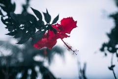 Brote rojo enorme en un árbol, oscuridad Fotos de archivo libres de regalías