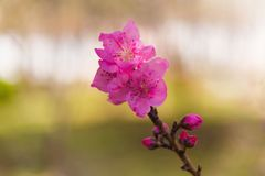 Brote rosado del flor y de flor del árbol de melocotón en primavera fotos de archivo