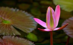 Brote rosado del lirio de agua en la charca Fotografía de archivo