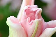 Brote rosado del lirio de tigre Imagenes de archivo