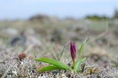 Brote salvaje de la orquídea Imagen de archivo