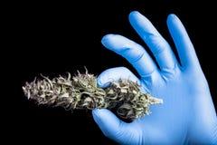 Brote seco del cáñamo a disposición en guante azul Fotografía de archivo