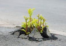 Brote a través del asfalto foto de archivo libre de regalías