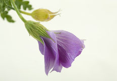 Brote tropical azul del hibisco fotografía de archivo libre de regalías