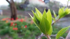 Brote verde de la primavera del actinidia contra la perspectiva del jard?n de igualaci?n imagen de archivo