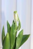 Brote verde del tulipán Imágenes de archivo libres de regalías