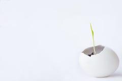 Brote verde que brota del huevo blanco Fotos de archivo