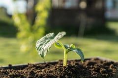 Brote verde que crece en el suelo, bokeh Fotografía de archivo libre de regalías