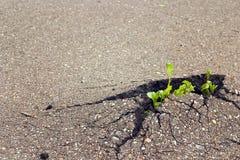 Brote verde que crece a través del asfalto El concepto de hacer frente Foto de archivo