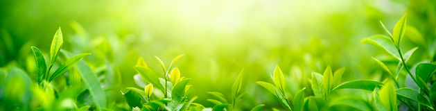 Brote y hojas frescos del té fotos de archivo