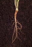Brote y raíces Foto de archivo