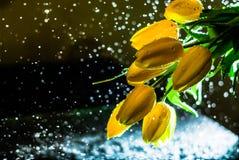 Brotes amarillos de tulipanes Imagen de archivo
